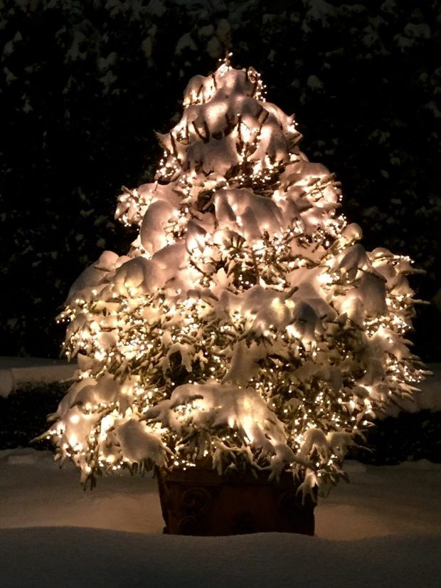evergreen tree in pot with white christmas lights