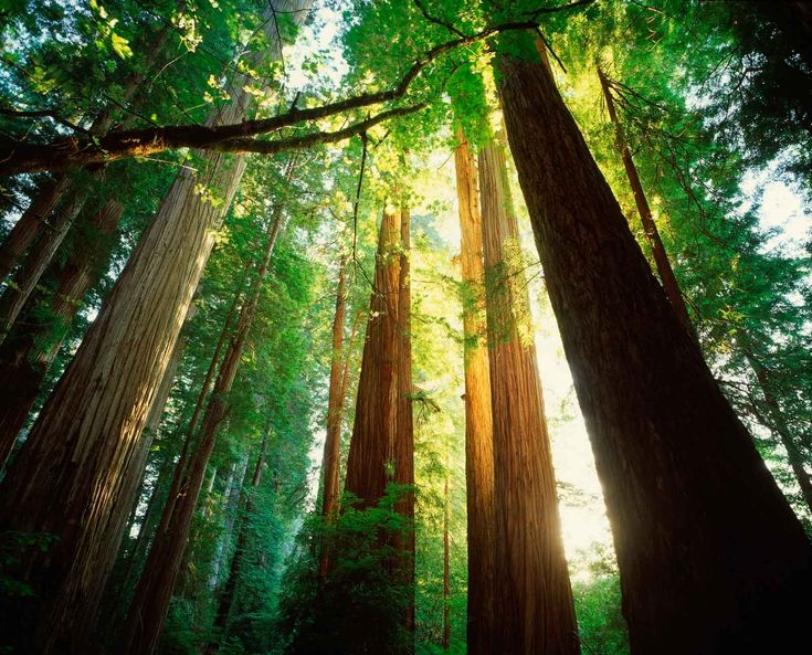 """""""A grove of giant redwoods or sequoias should be kept just as we keep a great or beautiful cathedral.""""      - Theodore Roosevelt"""