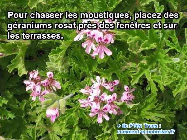 Les feuilles de ces géraniums sont recouvertes de petites glandes qui libèrent des arômes intenses. Ce répulsif naturel contre les moustiques est encore plus efficace lorsqu'on les froisse pour libérer ses odeurs.  Découvrez l'astuce ici : http://www.comment-economiser.fr/comment-repousser-les-moustiques.html?utm_content=buffer34158&utm_medium=social&utm_source=pinterest.com&utm_campaign=buffer