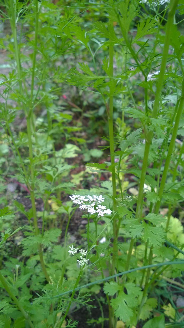 Coriandrum sativum (Koriander)