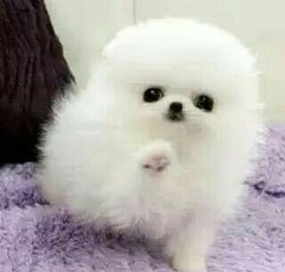 Pomerania mini