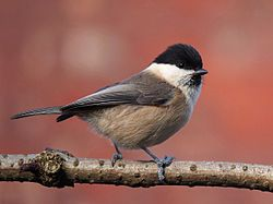 Willow Tit (Parus montanus) temperate Europe and North Asia