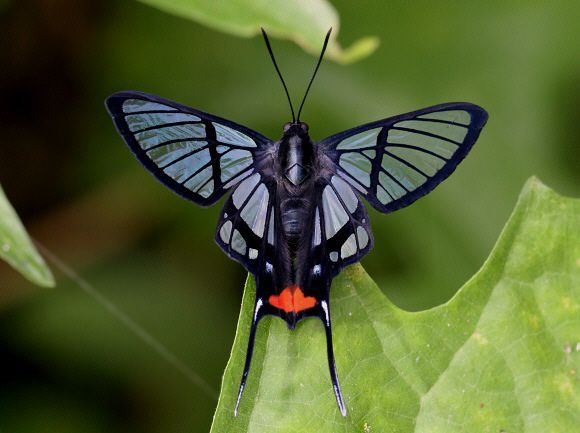 Butterflies of the Andes - Chorinea amazon, the Amazon angel. Found in Guyana, Surinam, Ecuador, Brazil, Peru and Bolivia.