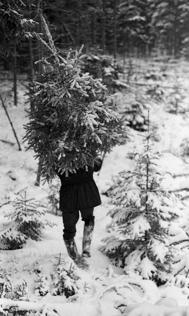 Man with a christmas tree in småland sweden 1973