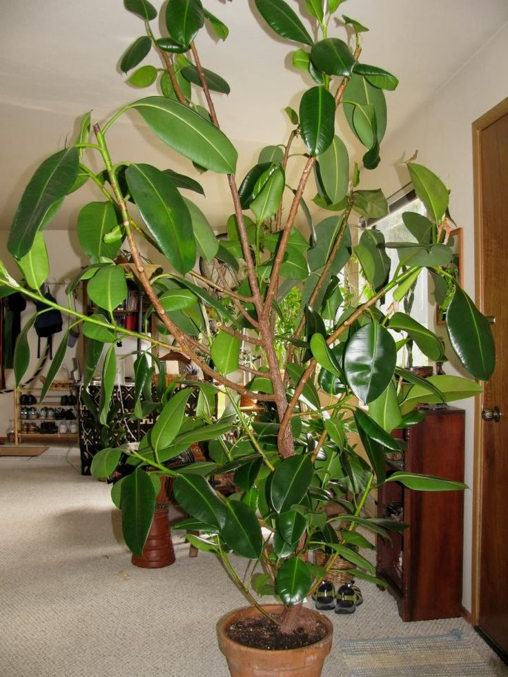 156 best images about ficus elastica on pinterest trees Large house plants