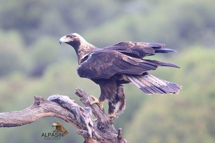 Disfruta con Alpasin-Ecoturismo de las rapaces más emblemáticas de Sierra Morena.