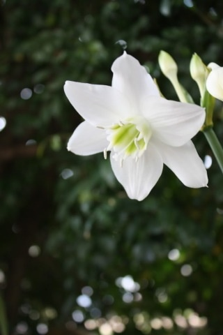 Eucharist Lilly, a bulb that looks perfectly at home in the tropical garden with it's glossy evergreen leaves and beautiful white flowers.