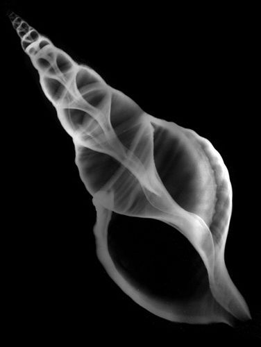 Shell x rays are a great way of exploring the inner workings of shells and their whole 3D structure.