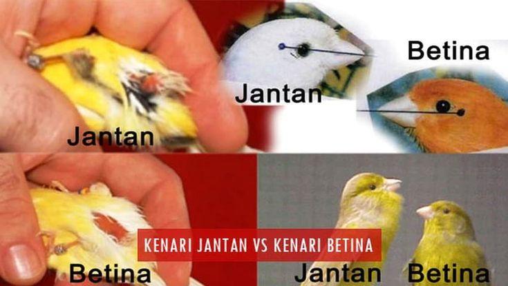 Cara Membedakan Kenari Jantan Dan Betina Untuk Pemula Fauna Id Betina Kenari Burung