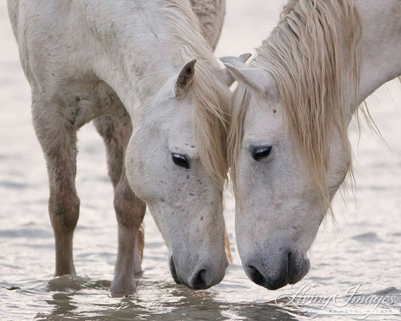 Two Camargue horses stand in the water, head to head in the pink light of dawn in Camargue, France. in wild horse collection
