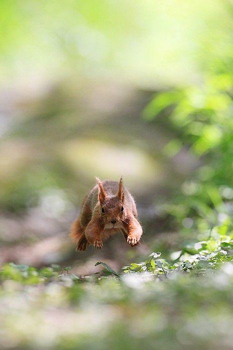 ecureuil roux saut