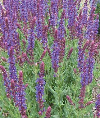 Salvia Burgundy Candles Perennial Zone 4 9 Full Sun