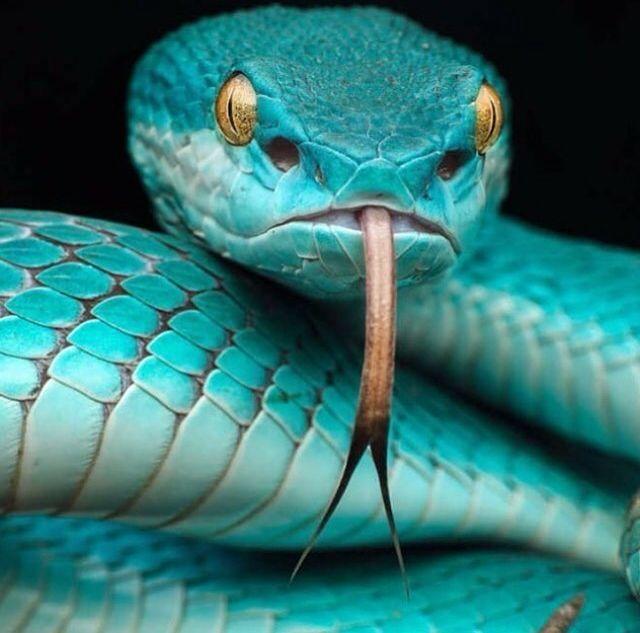 Best 25+ Pit viper ideas on Pinterest