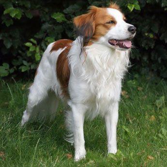 Calm Dog Breeds Medium Sized