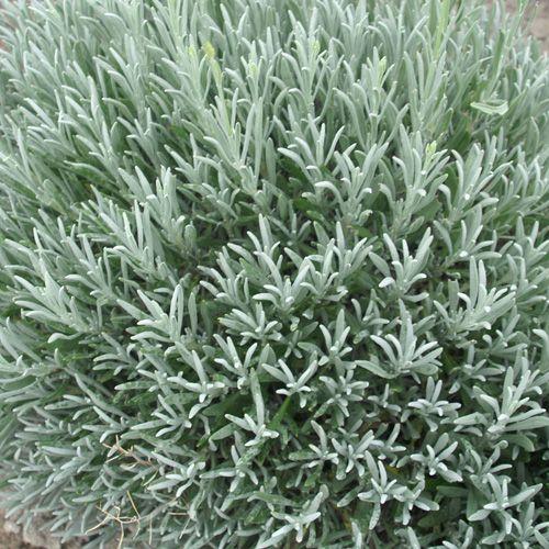 les 20 meilleures images du tableau vivaces feuillage gris sur pinterest plantes vivaces. Black Bedroom Furniture Sets. Home Design Ideas
