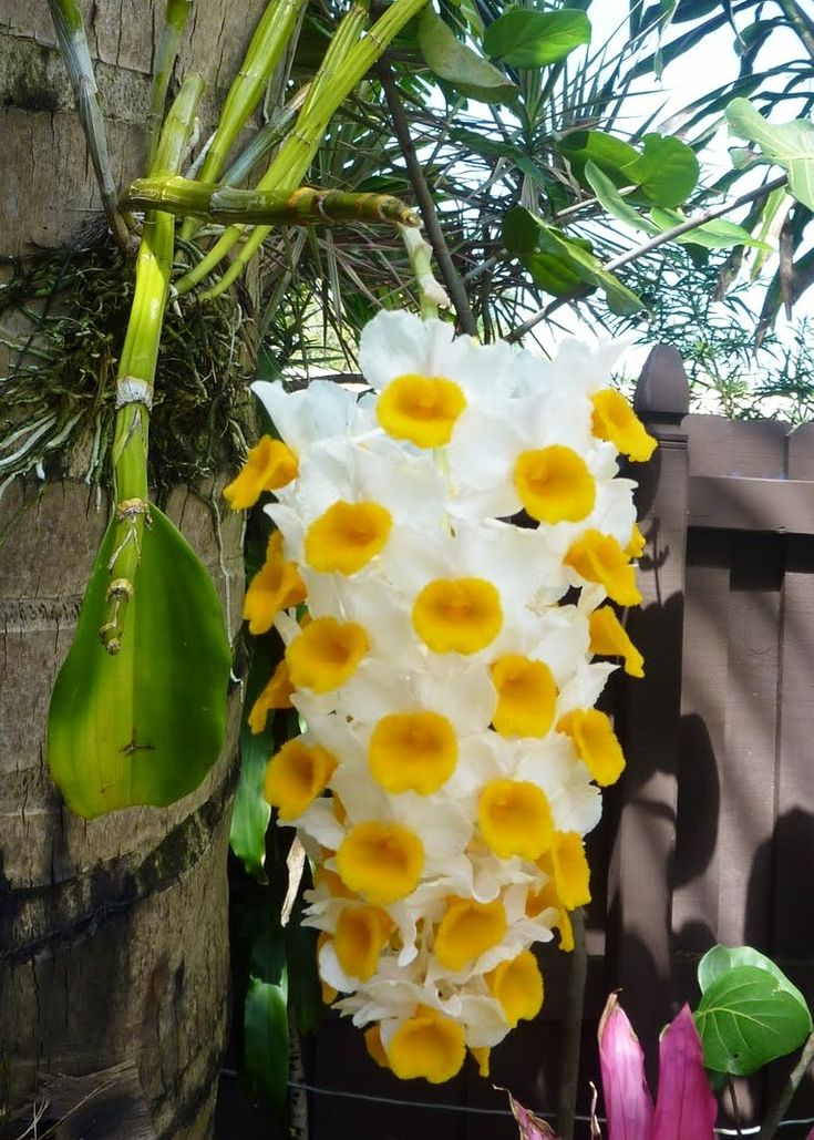 Orange Dendrobium Thyrsiflorum Orchid