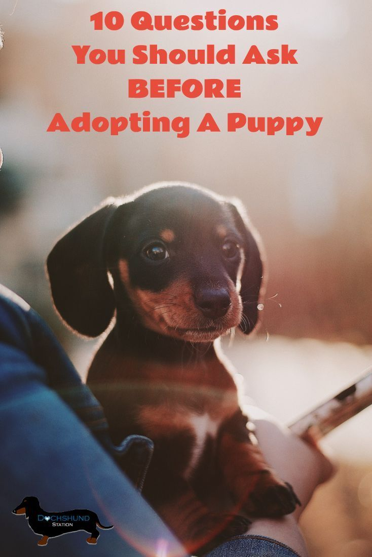 10 Things To Ask Before Adopting A Dachshund Training Your Dog