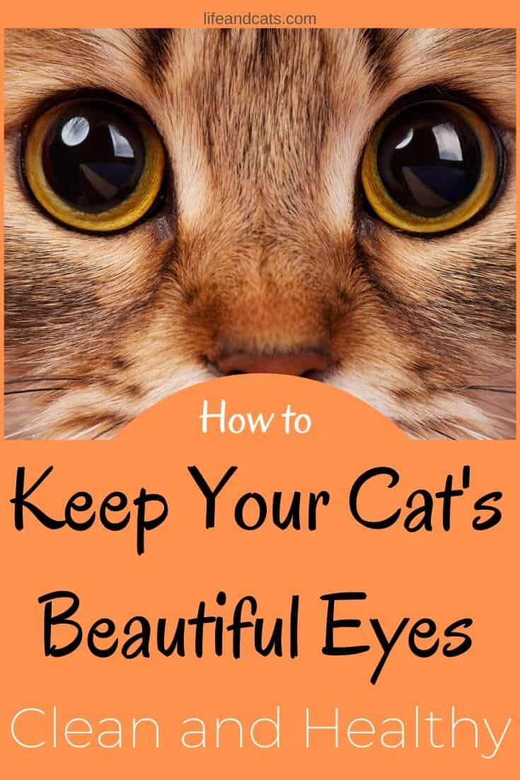 Keep Your Cat S Beautiful Eyes Clean And Healthy Life Cats In 2020 Kitten Eye Infection Kitten Eyes Cat Eye Problems