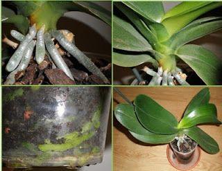Orquídea Phalaenopsis-raíces-hojas-maceta