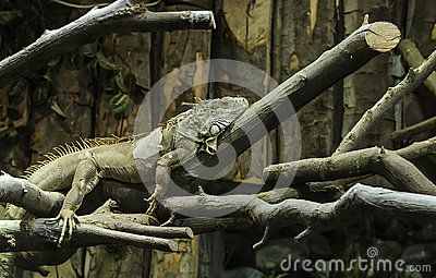 Iguana sitting relaxed on tree branches in captivity.