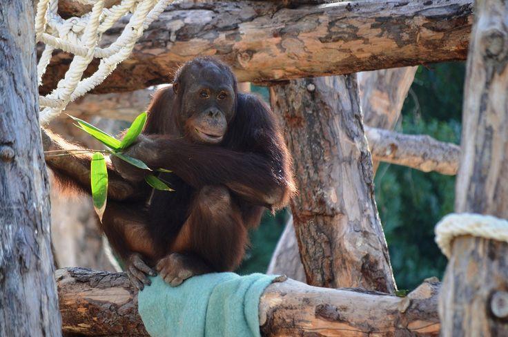 Orangután en Río Safari Elche Orangutan at Rio Safari Elche (Alicante, Spain)