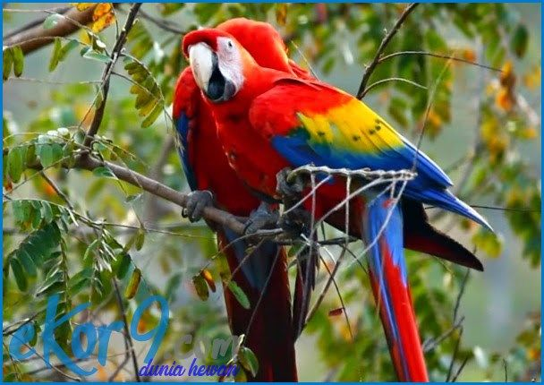 scarlet macaw facts, scarlet macaw price, hyacinth macaw, scarlet macaw pictures, scarlet macaw information, scarlet macaw facts for kids, scarlet macaw talking, scarlet macaw for sale, ekor9