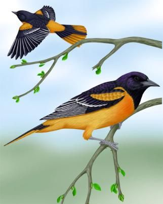 Baltimore Oriole   Saw This One In My Backyard Today : )