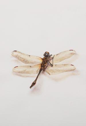 Saara Vainio: Sudenkorento / Dragonfly. Watercolour, 14 x 18 cm. 2011