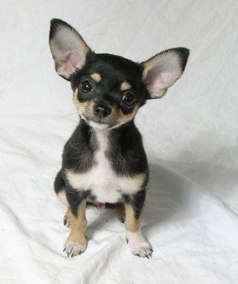 Chihuahuas!!
