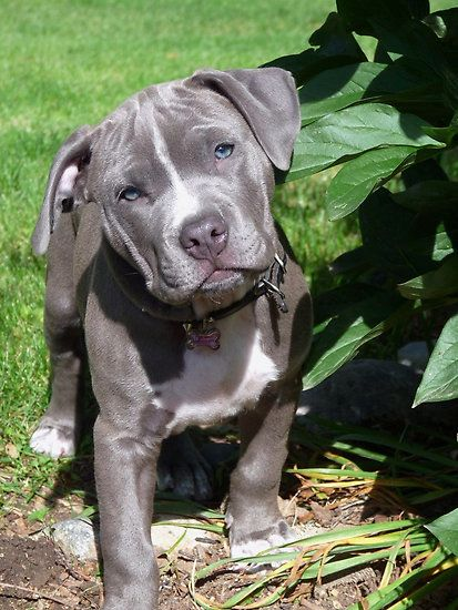 "clothes for pitbull dogs | Gorgeous Baby Pitbull Puppy Dog (Head Tilted)"" by Christy Carlson ..."