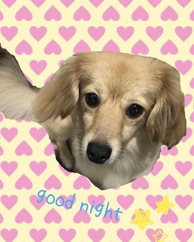 . . . そういえば最近マカちゃんの 投稿してなかったので😊💓 . 今日も元気におてんば してました😂🙌🏻🎀 . . そして おやすみなさい😘💤 . . ☁️☁️☁️☁️☁️ #おやすみなさい #犬好き #おてんば娘  #愛犬 #ミックス犬 #チワックス #チワワ #ダックスフンド #マカ