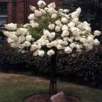 Pee Gee Hydrangea Tree - Beautiful!