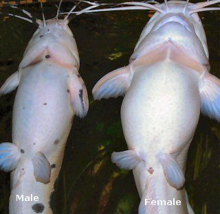 Male/female catfish
