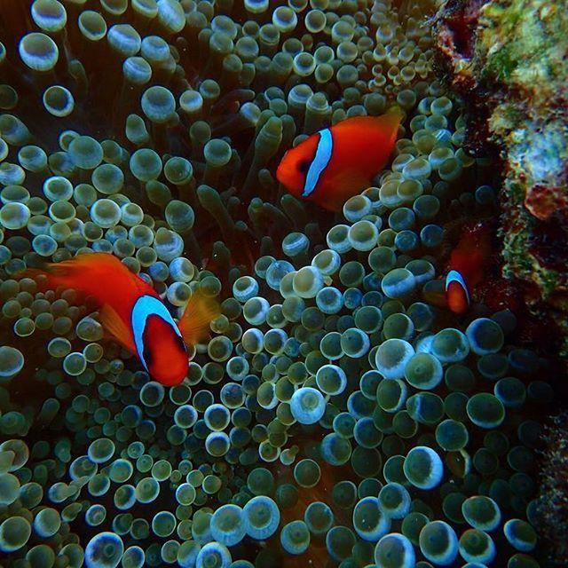 【kameshiman】さんのInstagramをピンしています。 《海の中でゆらゆらゆら 頭も心もからっぽ 呼吸をしてただシンプルに生きている♬ #JAPAN#OKINAWA#日本#沖縄#北谷町#砂辺#宮城海岸 #ダイビング#海#魚#珊瑚#クマノミ#遊び#楽しい#自然》