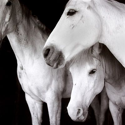 Black And White Horses In Love