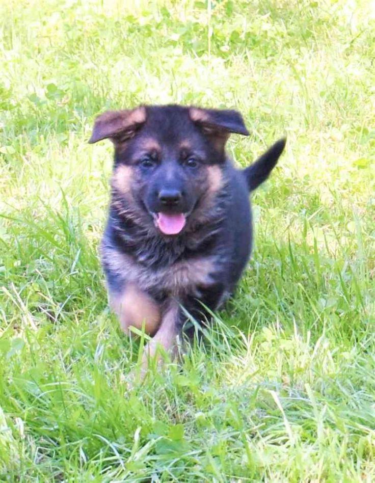 CKC Registered World Class German Shepherd Puppies Ready