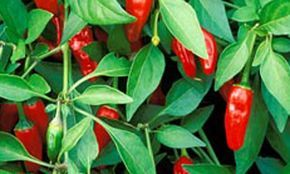 Indian style: Apache chillies are great for windowsills. Photograph: Jo Whitworth/Gap Photos
