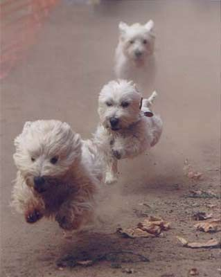 Run ***WESTIES*** Run! - Westie rescue of CA