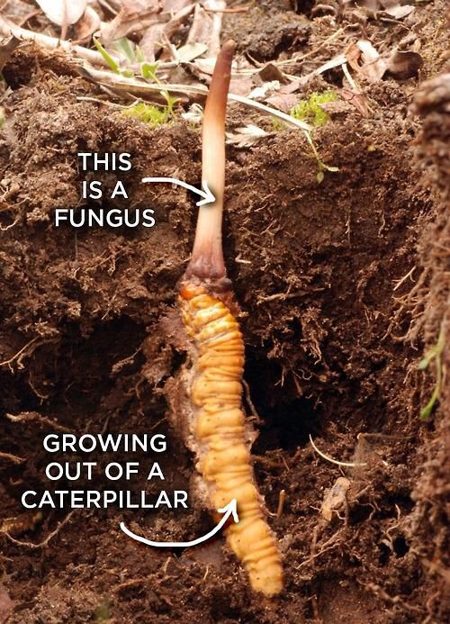 Ophiocordyceps sinensis is a fungus that invades...