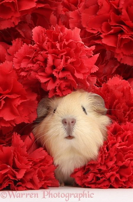 Cute baby yellow Guinea pig among red carnation flowers