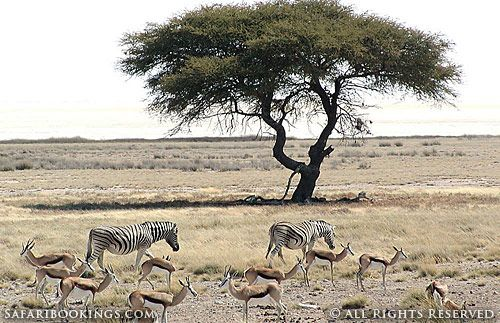 Zebra and springbok (Etosha National Park, Namibia) - Namibia travel guide: http://www.safaribookings.com/namibia