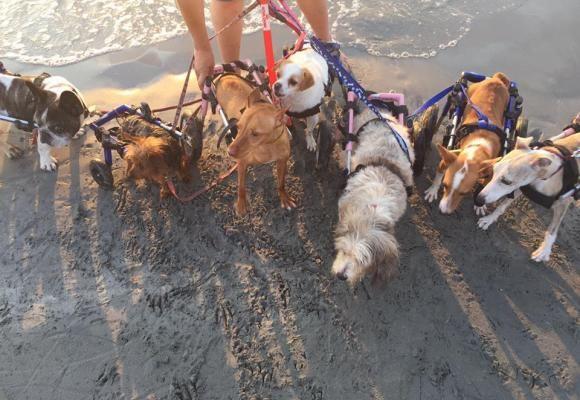"""""""Bichos Raros"""" en la playa, 17 perros en silla de ruedas disfrutan en la Caleta dels Gossets   SrPerro.com, la guía para animales urbanos."""