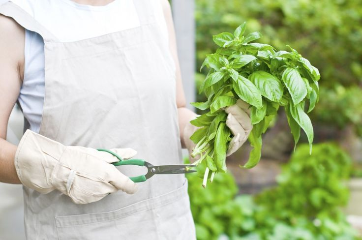 When to prune basil