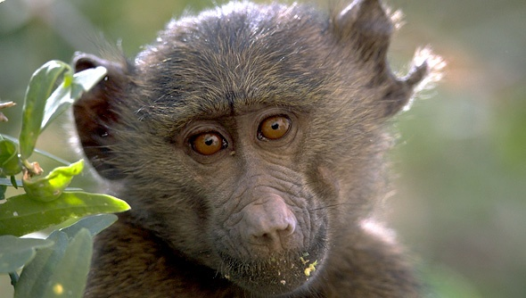 The adorable face of a baby baboon eating leaves in a tree.: Baby Baboon