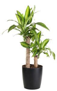Dracaena Massangeana [Mass Cane, Corn Plant]; good for removing pollutants too.