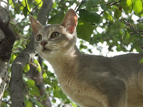 Abyssinian Kittens for sale in any US state
