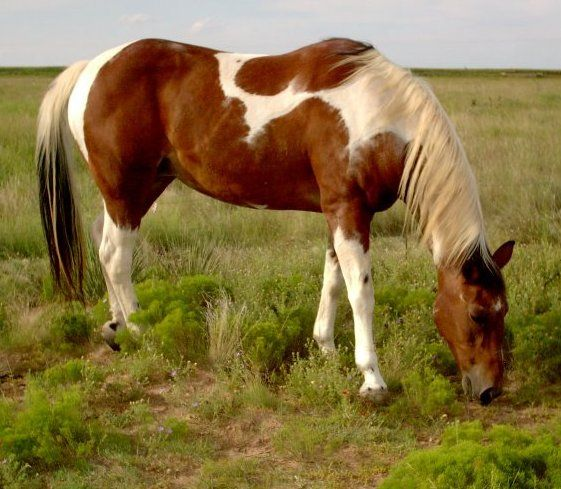"""The American Paint Horse is a breed of horse that combines both the conformational characteristics of a western stock horse with a pinto spotting pattern of white and dark coat colors. Developed from a base of spotted horses with Quarter Horse and Thoroughbred bloodlines, the American Paint Horse Association (APHA) breed registry is now one of the fastest-growing in North America. The registry allows some non-spotted animals to be registered as """"breeding stock Paints,"""" and considers the…"""