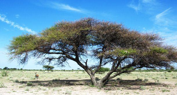 Umbrella trees in the #CentralKalahari #BotswanSafari at #HainaKalahariLodge