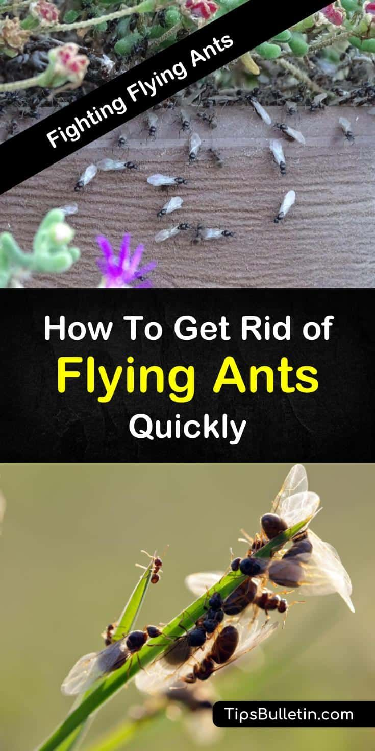 Discover Easy Tips For How To Get Rid Of Flying Ants With Simple Homemade Remedies You Can Eliminate Flying Flying Ants Get Rid Of Flies Flying Ants In House