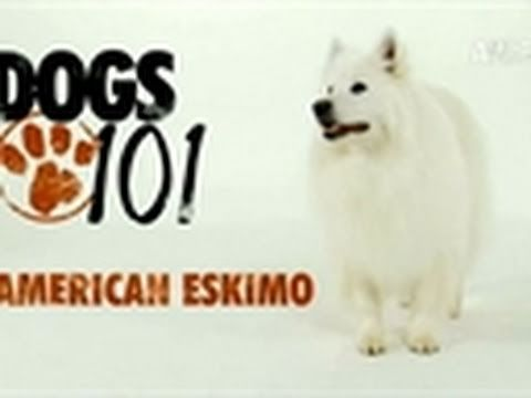 Intelligent, alert and friendly, the American Eskimo Dog is also an excellent watchdog, protective of his home and family